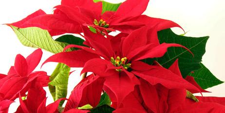 ¿Sabías que la Nochebuena es una flor mexicanísima?